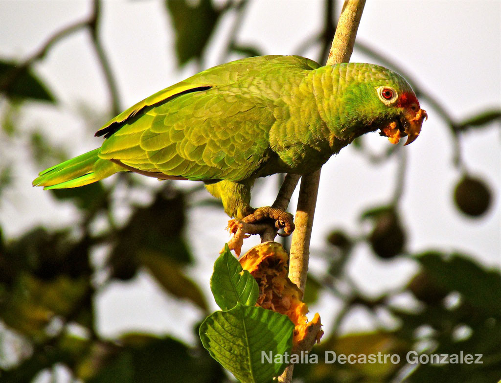 Red-lored Parrot Birding Panama