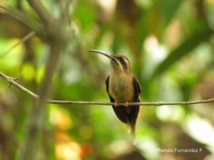 Stripe-throated Hermit - RFF