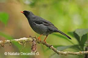 Black-faced Solitaire -NDG