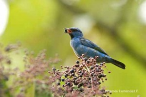 Blue Dacnis molting male -RFF