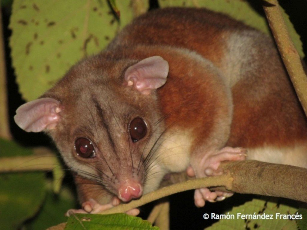 Panama Wildlife Nocturnal Mammal