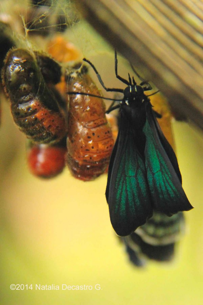 White-tipped Cycadian Butterfly and Pupa stages