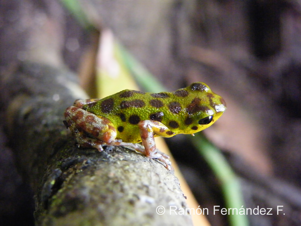 Poison dart Frog Isla Colon