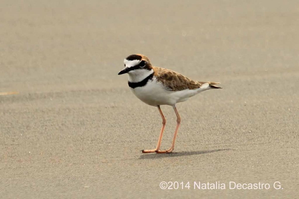 Panama Shorebird