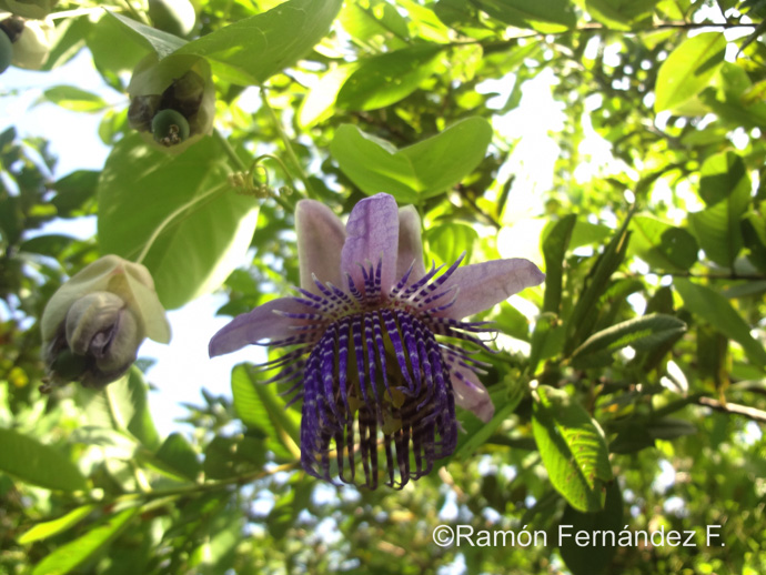 Passionflower photo