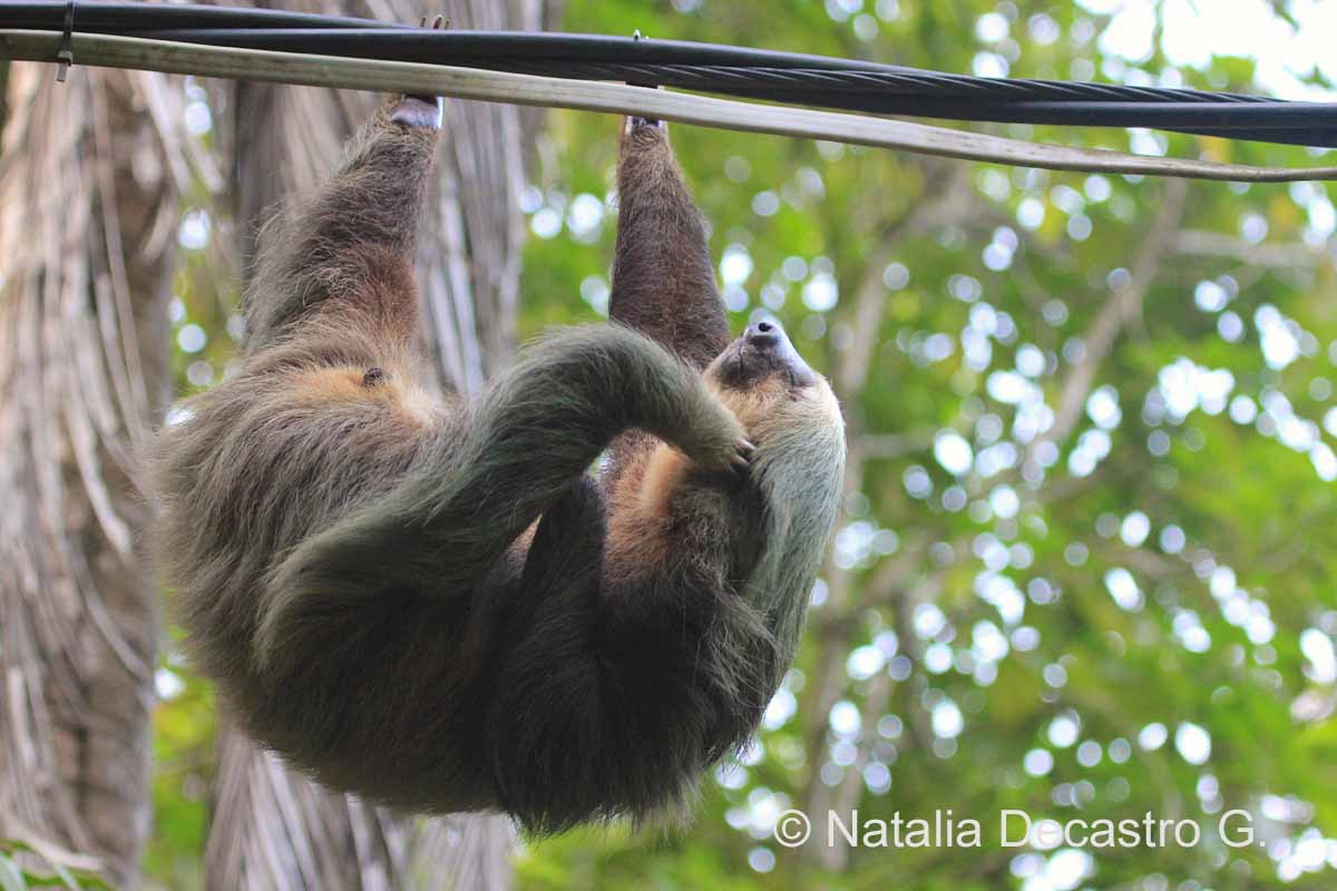 Panama Two-toed Sloth