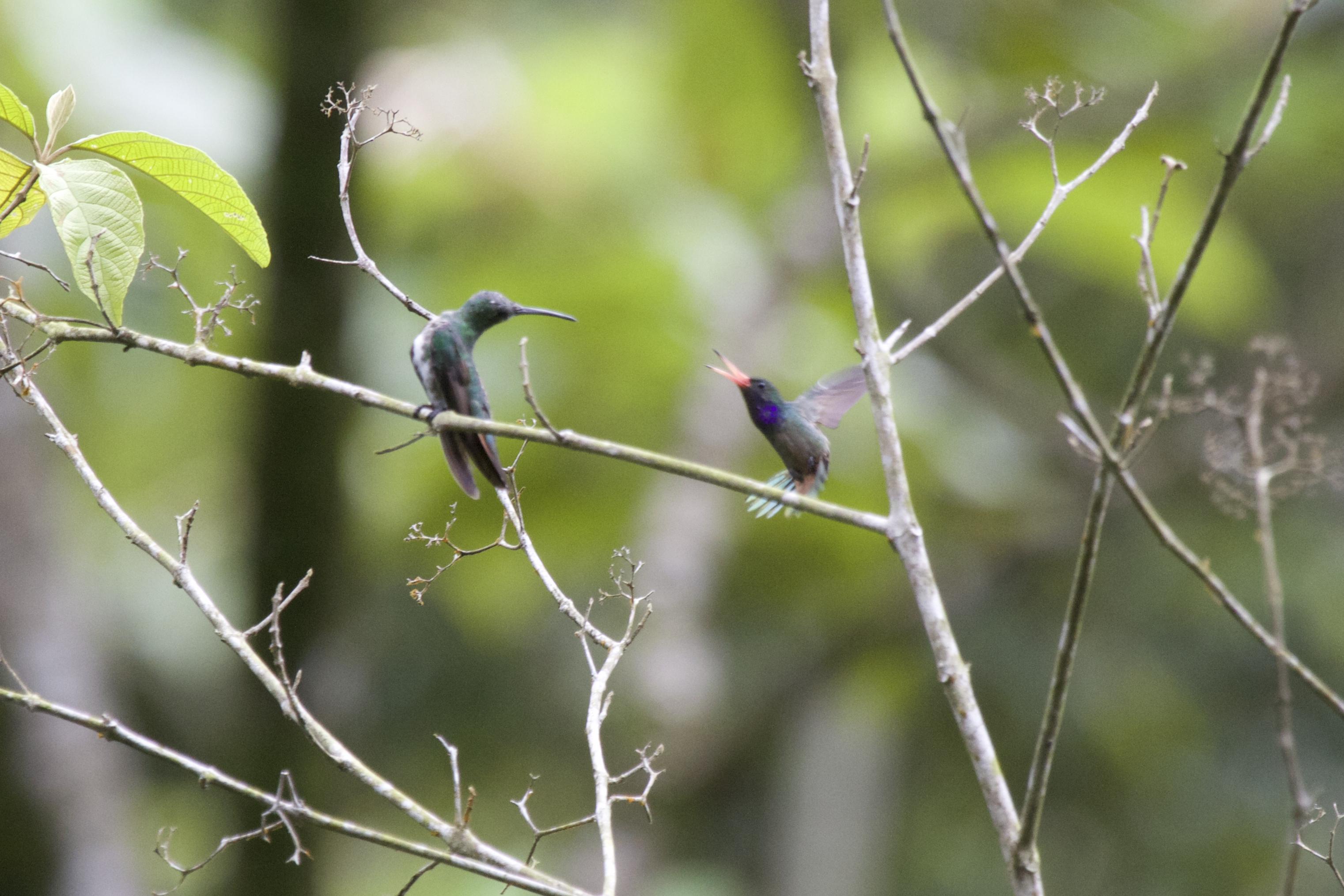 Panama Hummingbirds