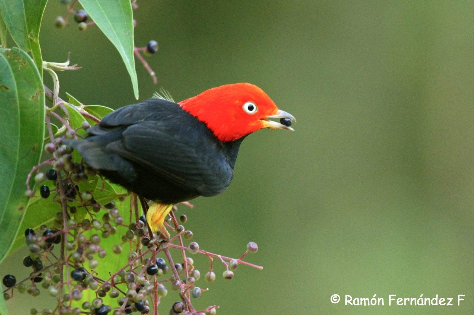 Miconia with Red Capped Manakin