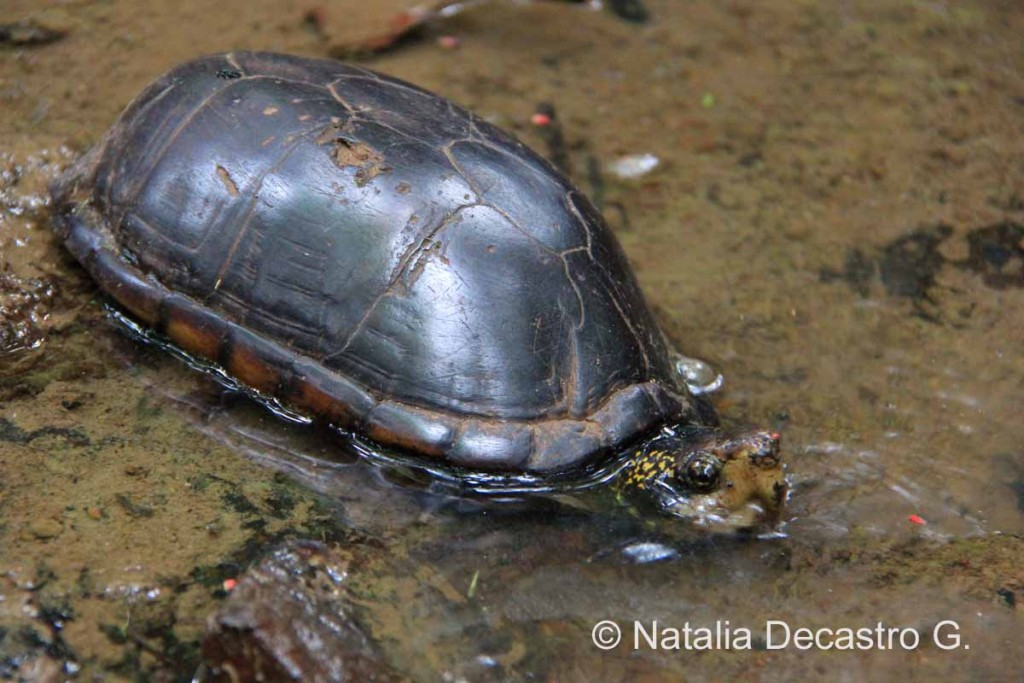 Mud Turtle Panama