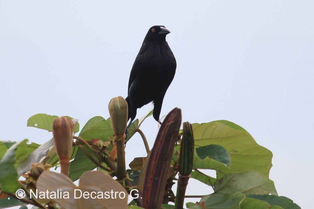 Parasitic bird nesting in Bocas del Toro