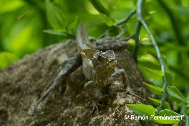 Basiliscus vittatus adult male