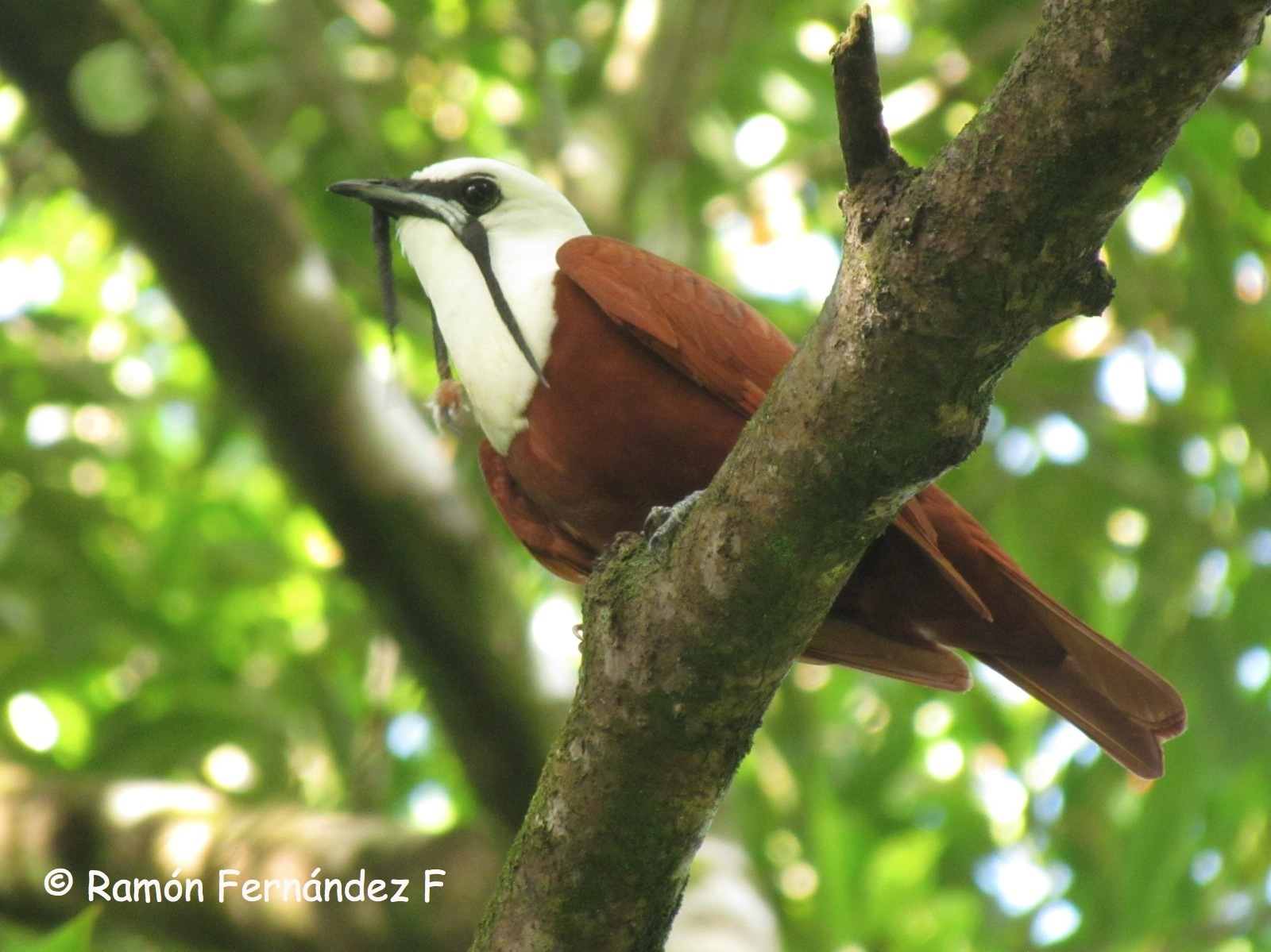 Panama Birdwatching