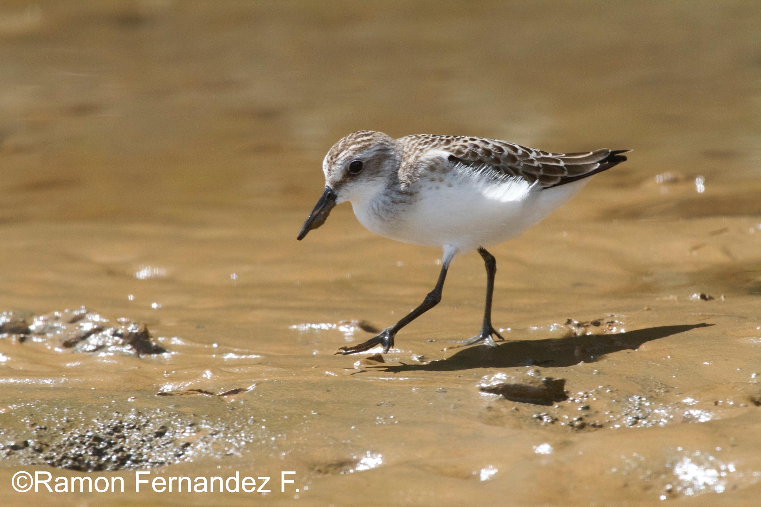 semipalmeated-sandpiper_small