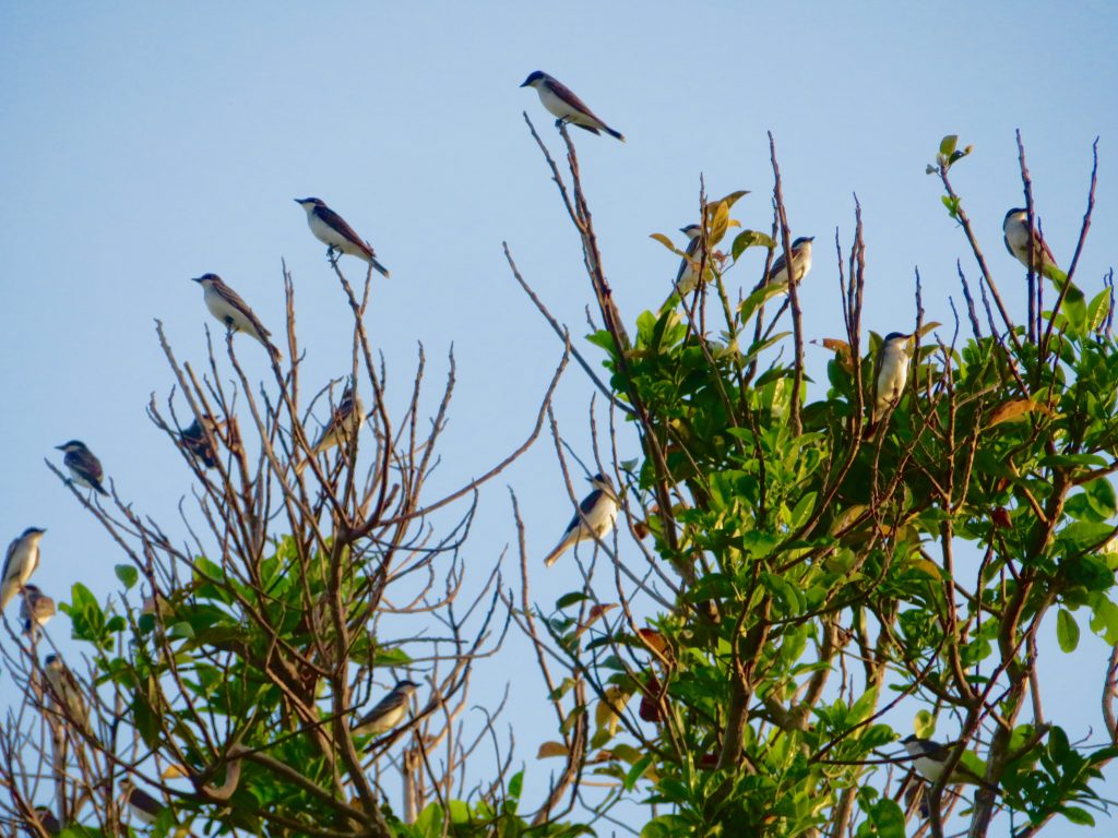 Eastern Kingbirds Birding Panama