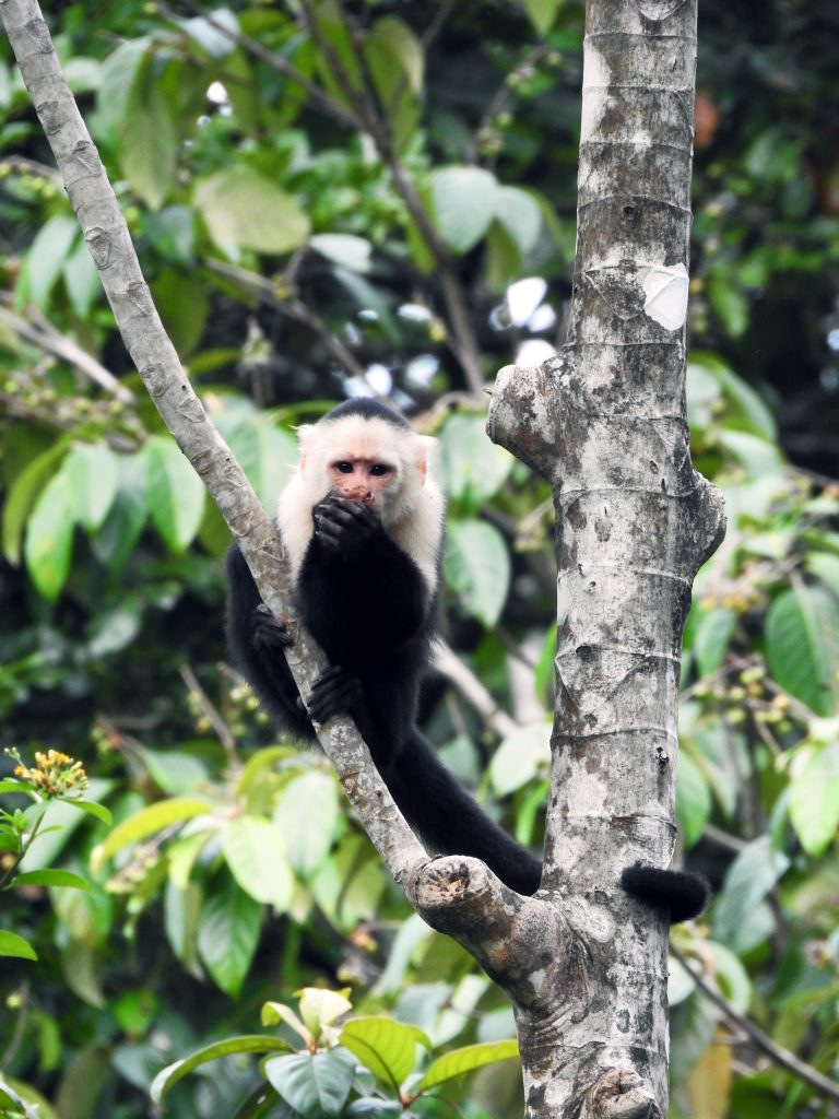 White-faced Capuchin Monkey at Bocas del Toro, Panama lodge.