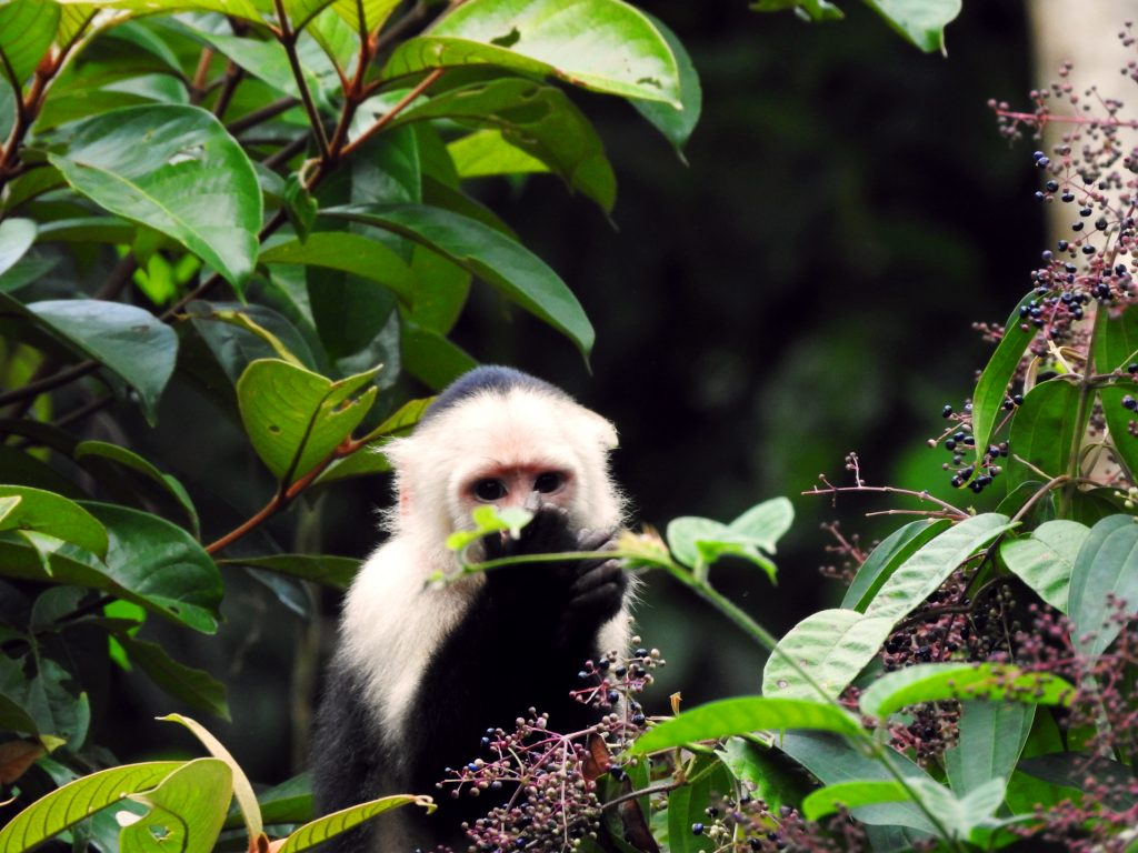 White-faced Capuchin Monkey at Panama eco lodge.